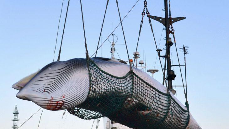 【捕鯨】政府、IWC脱退方針を来週にも表明へ ★8