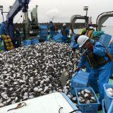島根の漁師「島根県沖大変な事になってます。全てハリセンボン」「捨てます」