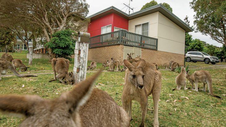 カンガルー増えすぎ、「害獣」として駆除 オーストラリア
